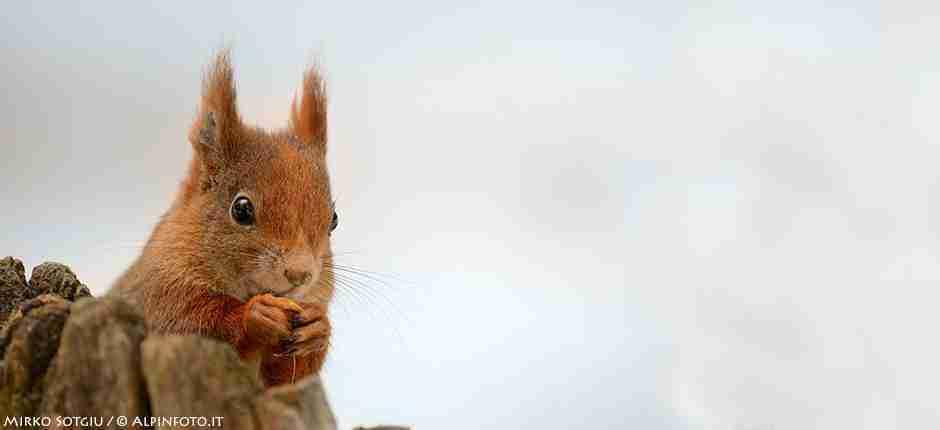 scoiattolo_engadina_roseg_mirkosotgiu