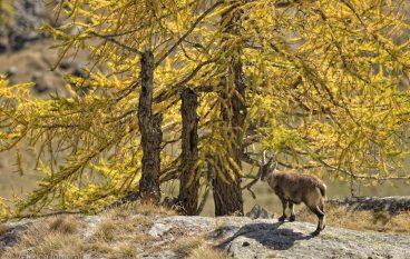 Fotografia naturalistica in autunno nel Parco Nazionale del Gran Paradiso